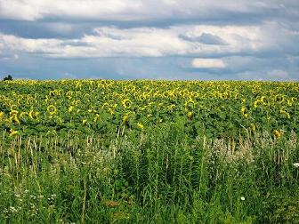 Sunflowers (©2009 Renee M. Liss)